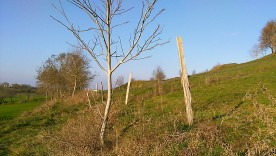 Acacia fence post and wallnut tree