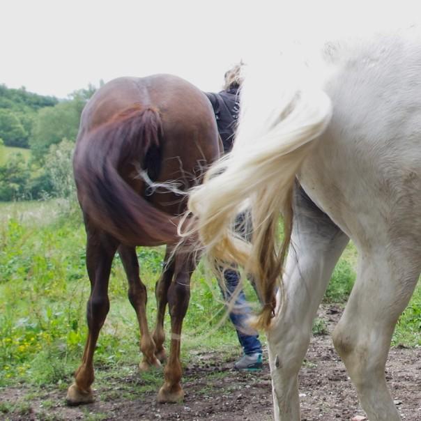 Crins des chevaux à Cabanac (2)